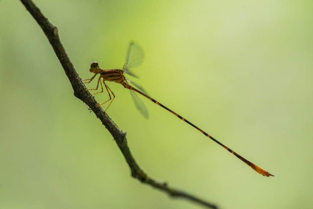 Heteragrion
