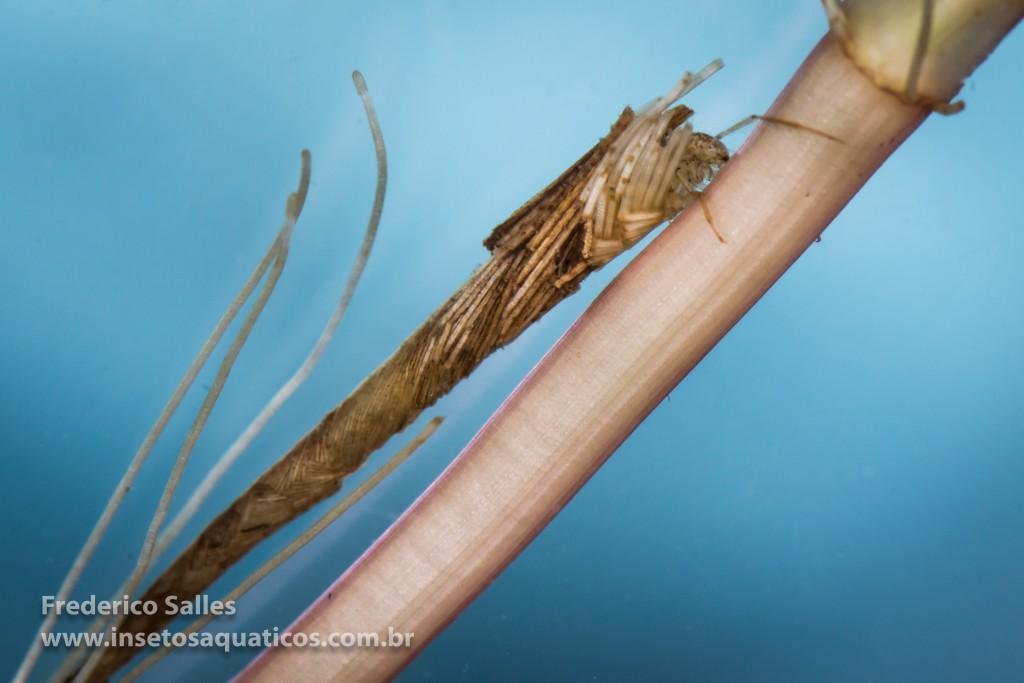 Nectopsyche (Leptoceridae)