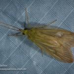 Leptonema (Hydropsychidae)
