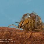Marilia (Odontoceridae)